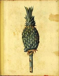 Botanical-Fruit-Pineapple-Italian