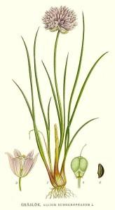 386_Allium_schoenoprasum