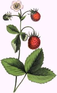 Vintage-Strawberry-Plant-Image-GraphicsFairy
