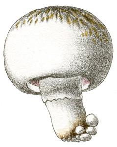 Mushroom-TanWt-GraphicsFairy21