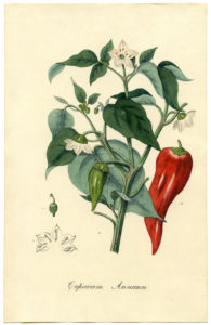 Botanical-Chili-Plant-Printable-GraphicsFairy-sm